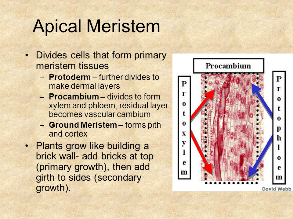 Apical Meristem Divides cells that form primary meristem tissues –Protoderm – further divides to make dermal layers –Procambium – divides to form xylem and phloem, residual layer becomes vascular cambium –Ground Meristem – forms pith and cortex Plants grow like building a brick wall- add bricks at top (primary growth), then add girth to sides (secondary growth).