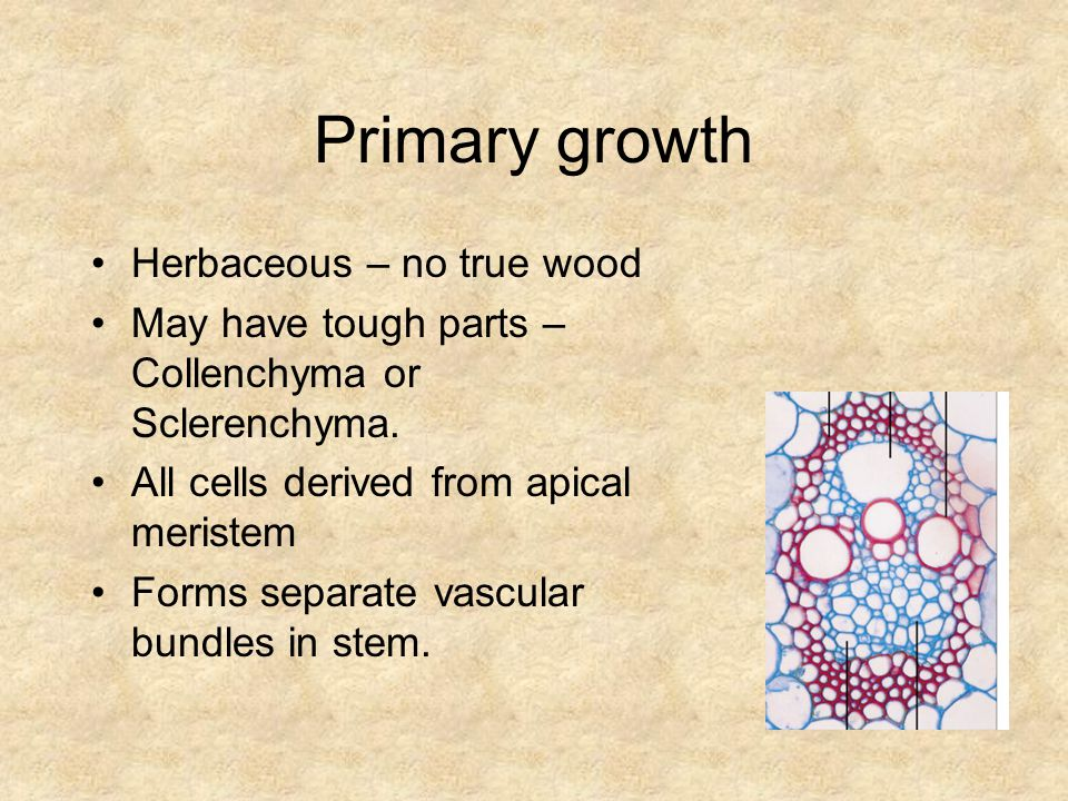 Primary growth Herbaceous – no true wood May have tough parts – Collenchyma or Sclerenchyma.