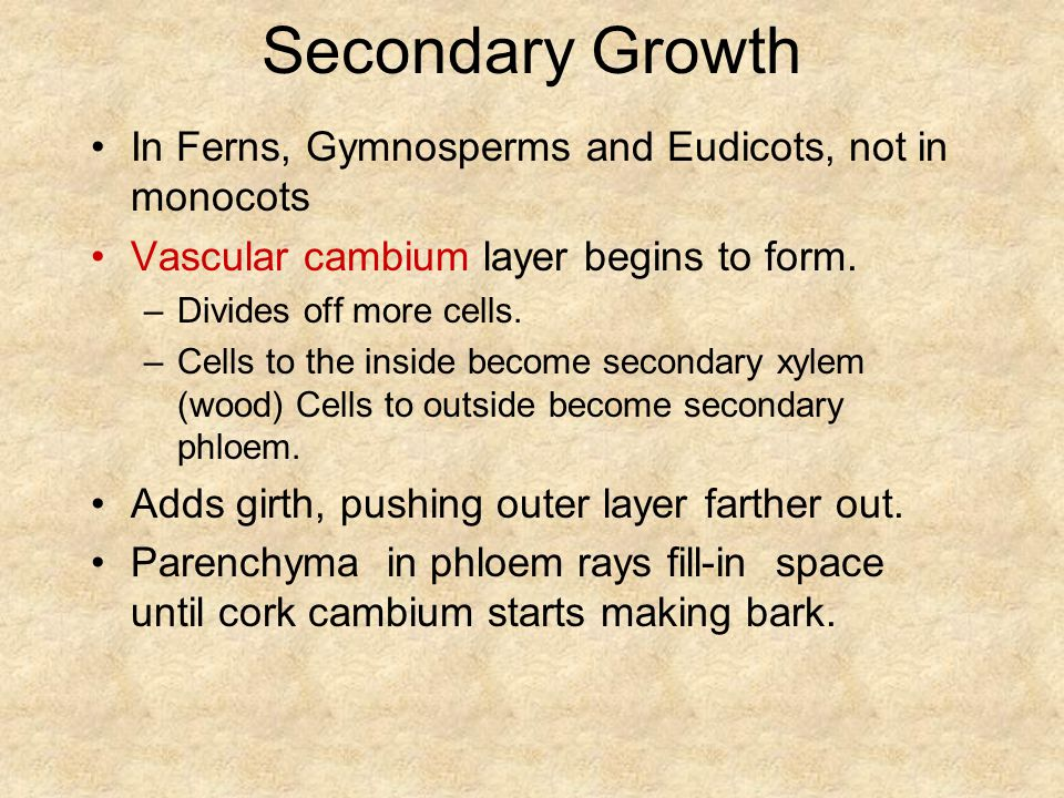 Secondary Growth In Ferns, Gymnosperms and Eudicots, not in monocots Vascular cambium layer begins to form.