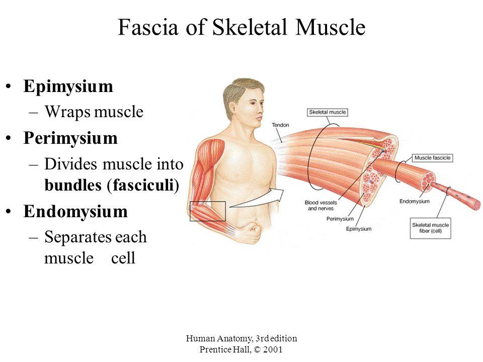 Human Anatomy, 3rd edition Prentice Hall, © 2001 Fascia of Skeletal Muscle