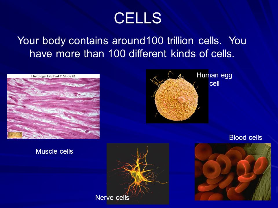 Embryonic stem cells differentiate into many different types of body cells.