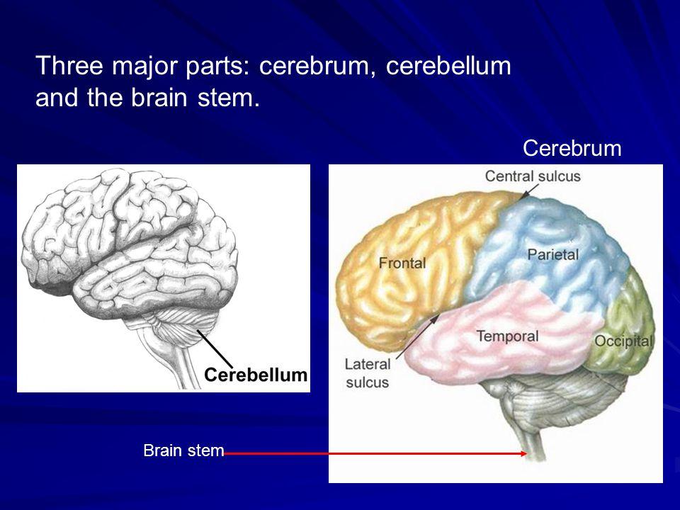 Three major parts: cerebrum, cerebellum and the brain stem. Cerebrum Brain stem