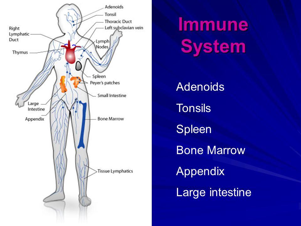 Immune System Adenoids Tonsils Spleen Bone Marrow Appendix Large intestine