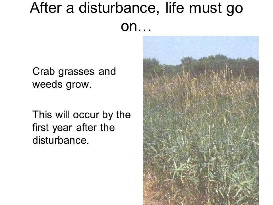 After a disturbance, life must go on… Crab grasses and weeds grow.