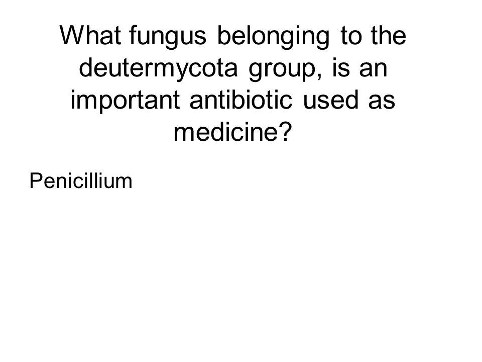 What fungus belonging to the deutermycota group, is an important antibiotic used as medicine? Penicillium