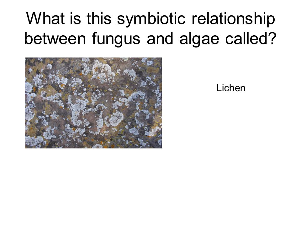 What is this symbiotic relationship between fungus and algae called? Lichen