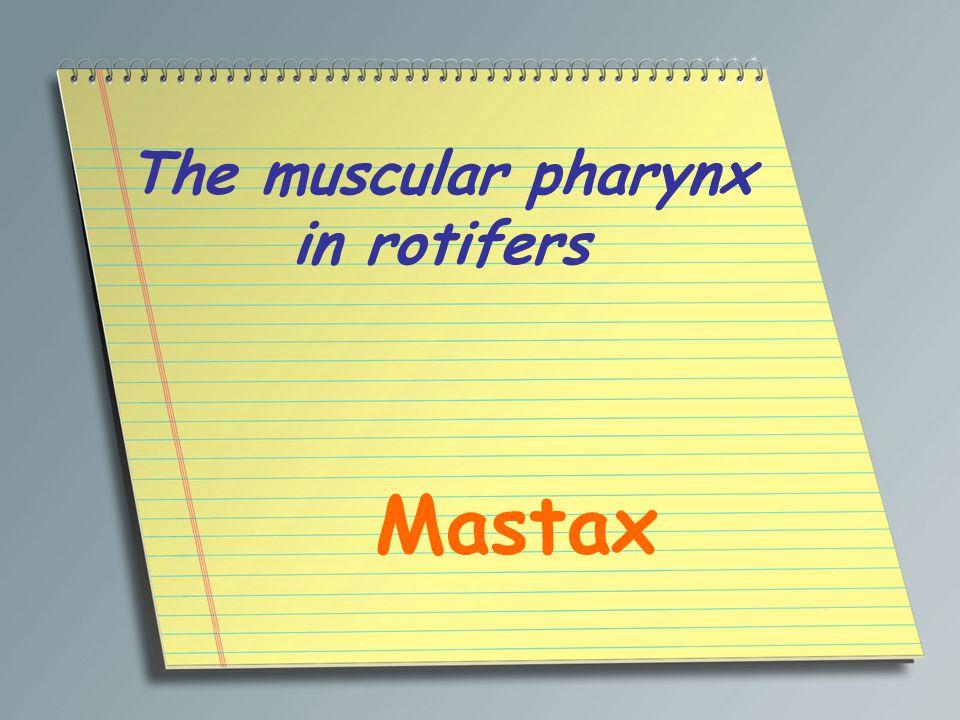 The muscular pharynx in rotifers Mastax