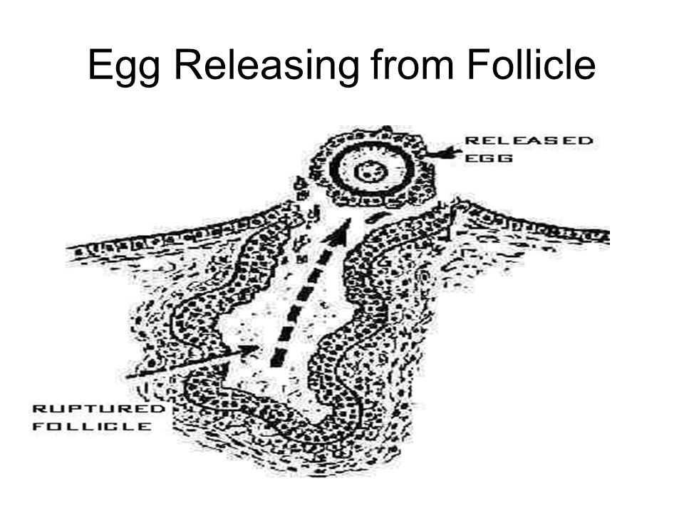 Egg Releasing from Follicle