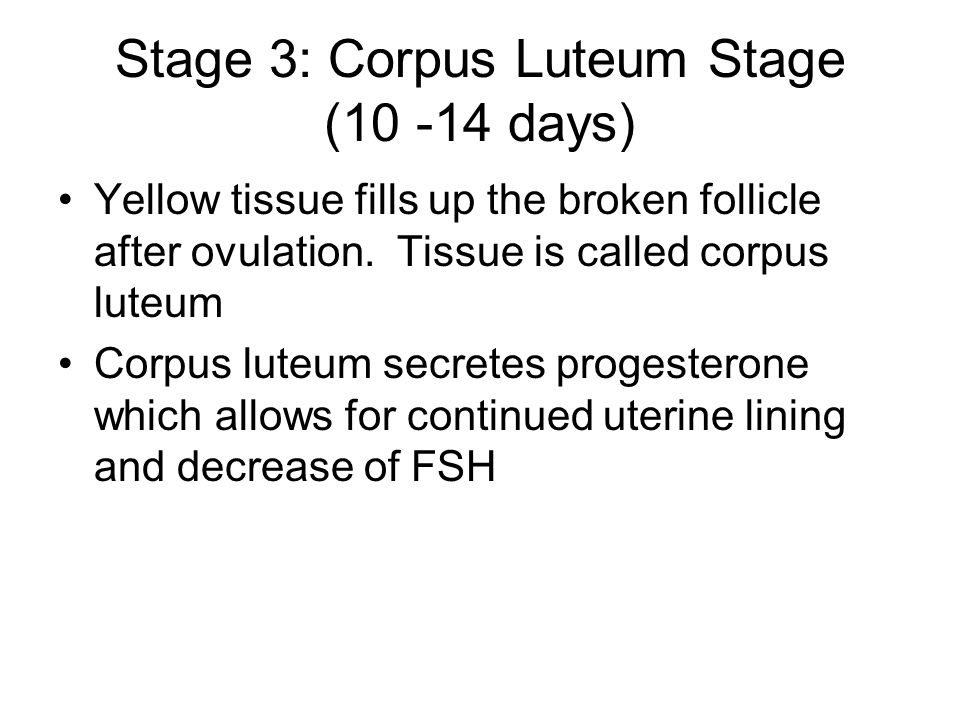 Stage 3: Corpus Luteum Stage (10 -14 days) Yellow tissue fills up the broken follicle after ovulation.