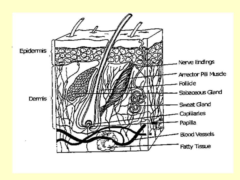 Subcutaneous Tissue nThis is a layer of fatty tissue between the dermis & muscles & bones.