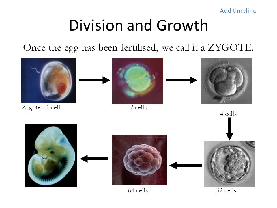 Division and Growth Once the egg has been fertilised, we call it a ZYGOTE. Zygote - 1 cell2 cells 4 cells 32 cells 64 cells Add timeline