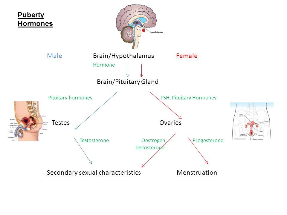Male Brain/Hypothalamus Female Hormone Brain/Pituitary Gland Pituitary hormones FSH, Pituitary Hormones Testes Ovaries Testosterone Oestrogen, Progest