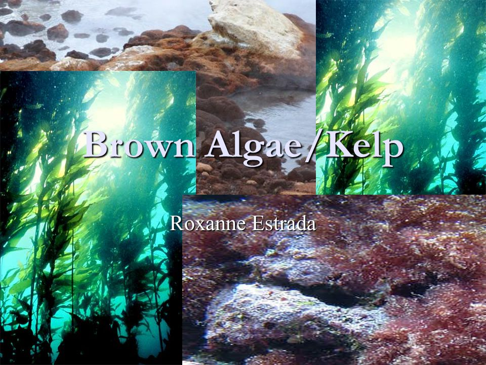 Brown Algae/Kelp Roxanne Estrada