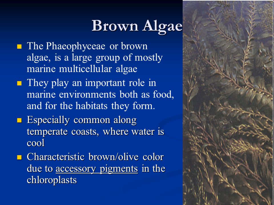 Brown Algae The Phaeophyceae or brown algae, is a large group of mostly marine multicellular algae They play an important role in marine environments both as food, and for the habitats they form.