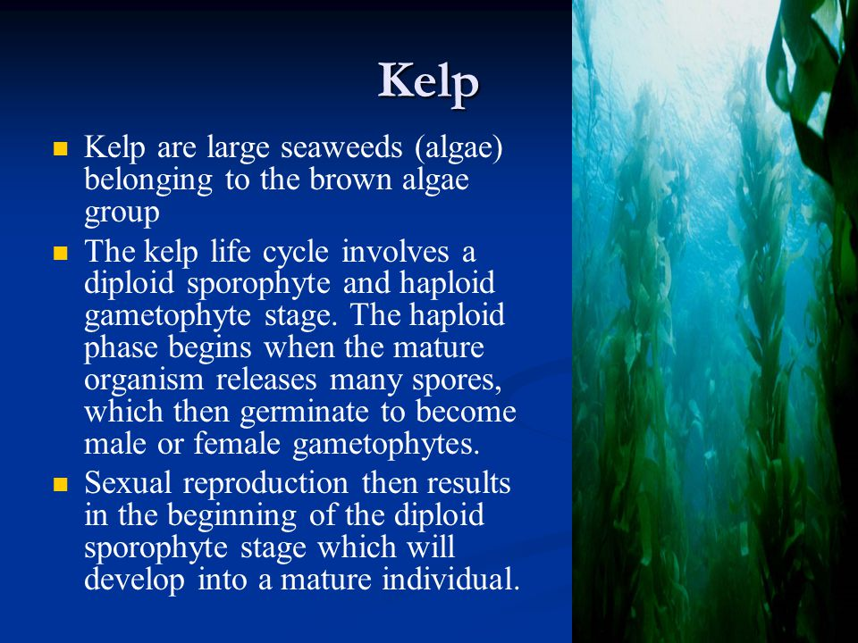 Kelp Kelp are large seaweeds (algae) belonging to the brown algae group The kelp life cycle involves a diploid sporophyte and haploid gametophyte stage.