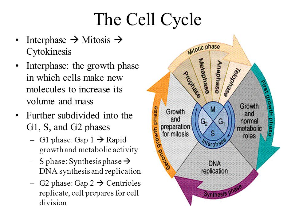 The Cell Cycle Interphase  Mitosis  Cytokinesis Interphase: the growth phase in which cells make new molecules to increase its volume and mass Furth