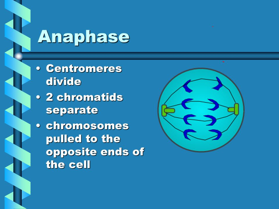 metaphase Each chromosome lines up midway between polesEach chromosome lines up midway between poles