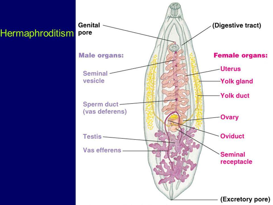 Testes-seminiferous tubules – Leydig cells-produce testosterone scrotum- epididymis- 6m.