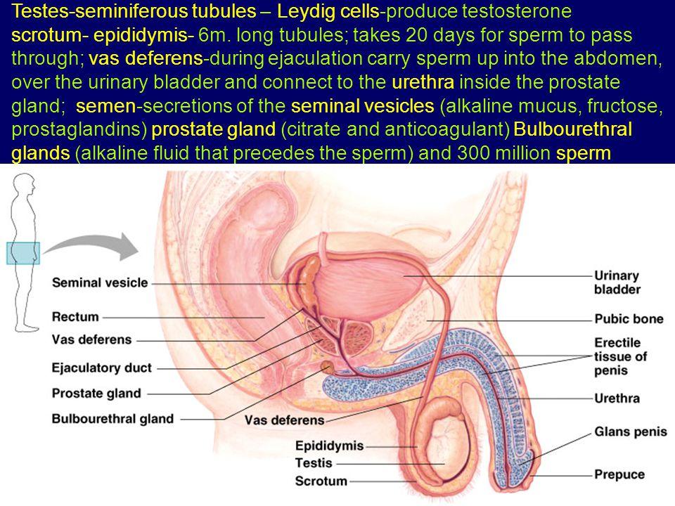 Testes-seminiferous tubules – Leydig cells-produce testosterone scrotum- epididymis- 6m. long tubules; takes 20 days for sperm to pass through; vas de