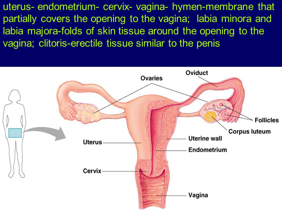 uterus- endometrium- cervix- vagina- hymen-membrane that partially covers the opening to the vagina; labia minora and labia majora-folds of skin tissue around the opening to the vagina; clitoris-erectile tissue similar to the penis
