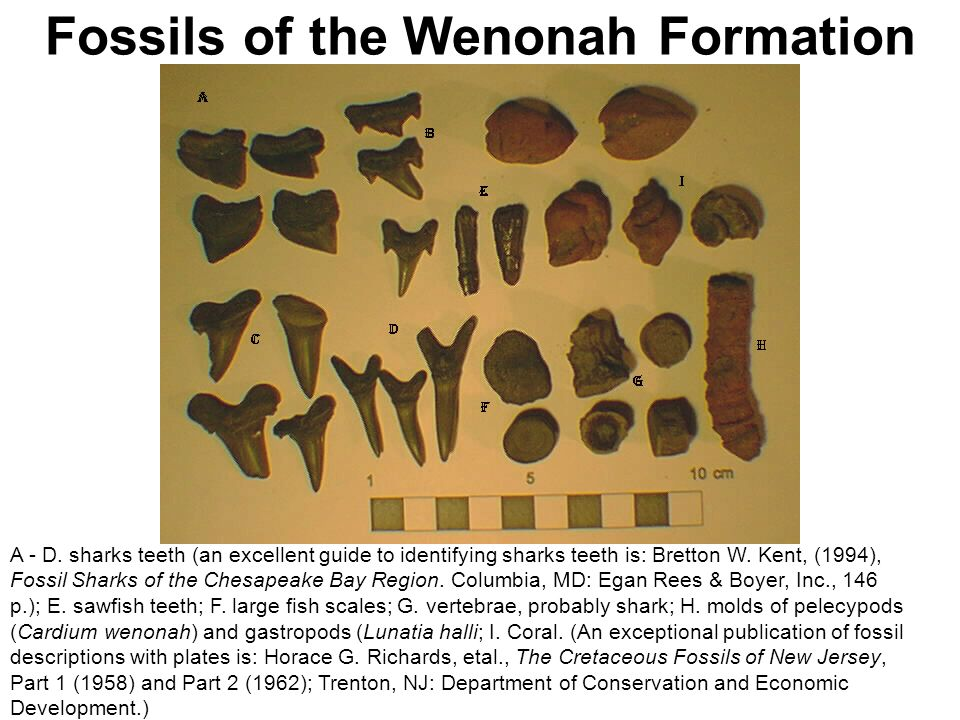 Fossils of the Wenonah Formation A - D. sharks teeth (an excellent guide to identifying sharks teeth is: Bretton W. Kent, (1994), Fossil Sharks of the