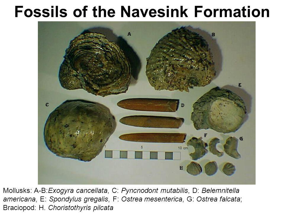 Fossils of the Navesink Formation Mollusks: A-B:Exogyra cancellata, C: Pyncnodont mutabilis, D: Belemnitella americana, E: Spondylus gregalis, F: Ostrea mesenterica, G: Ostrea falcata; Braciopod: H.