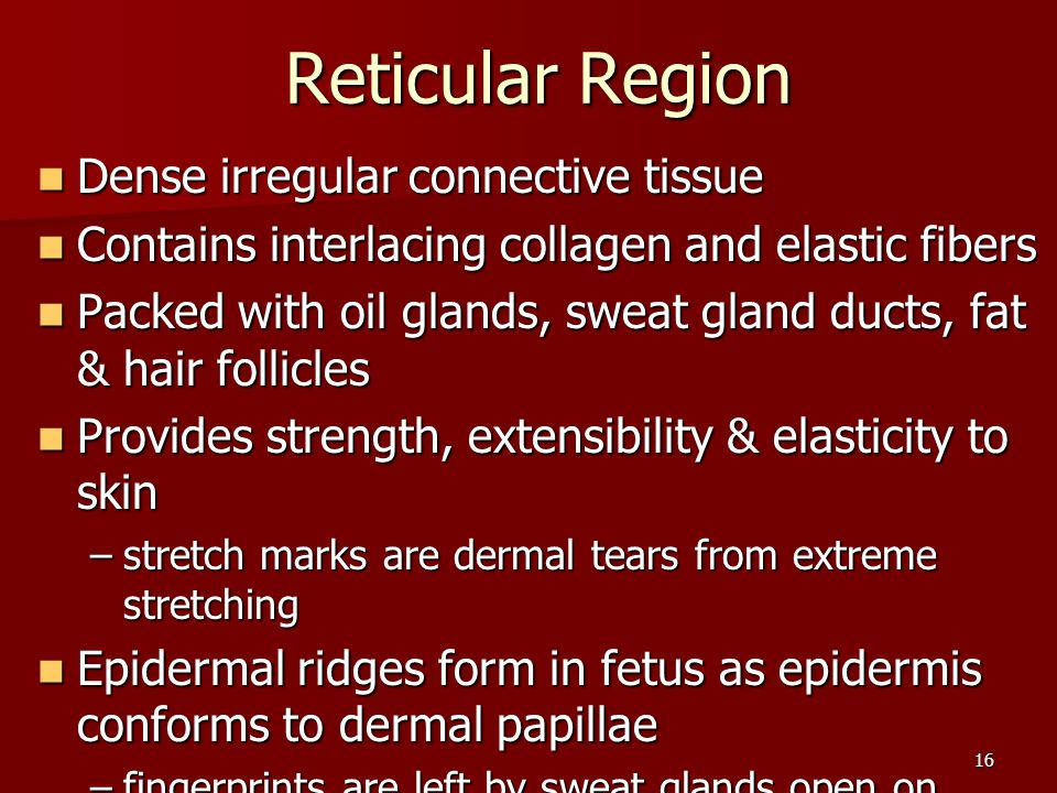 16 Reticular Region Reticular Region Dense irregular connective tissue Dense irregular connective tissue Contains interlacing collagen and elastic fib