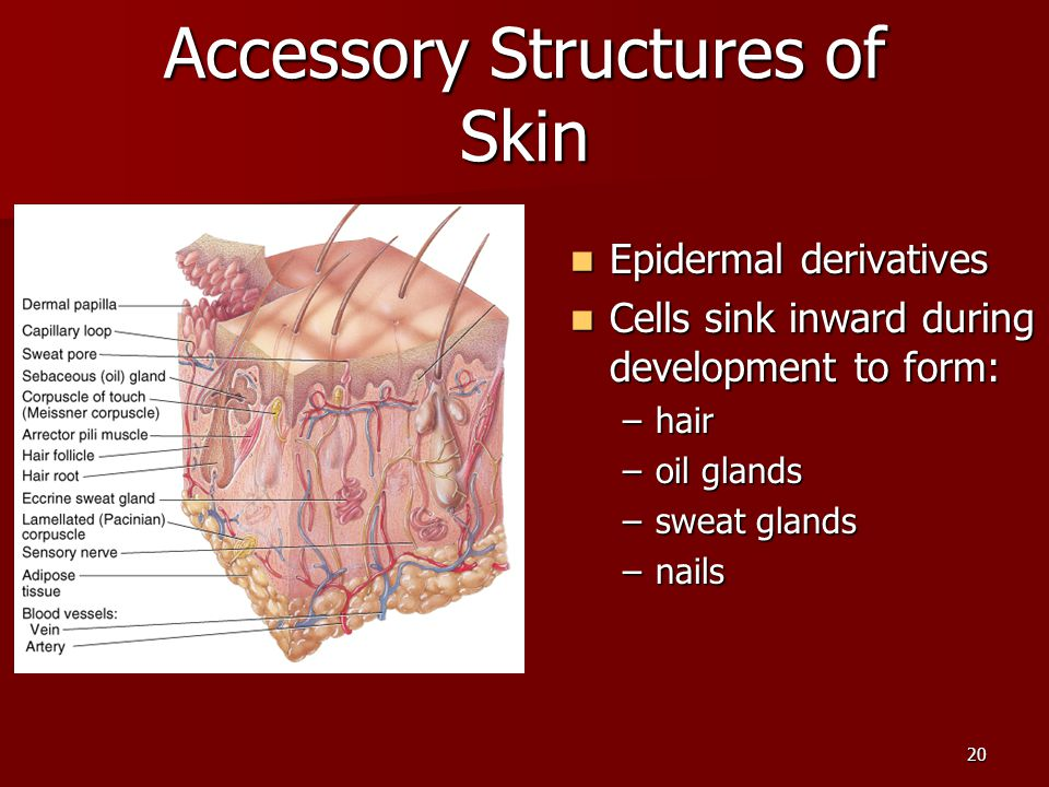 20 Accessory Structures of Skin Epidermal derivatives Epidermal derivatives Cells sink inward during development to form: Cells sink inward during dev