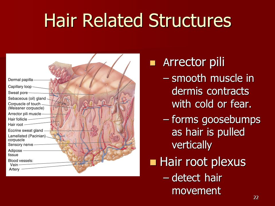 22 Hair Related Structures A rrector pili A rrector pili –smooth muscle in dermis contracts with cold or fear. –forms goosebumps as hair is pulled ver