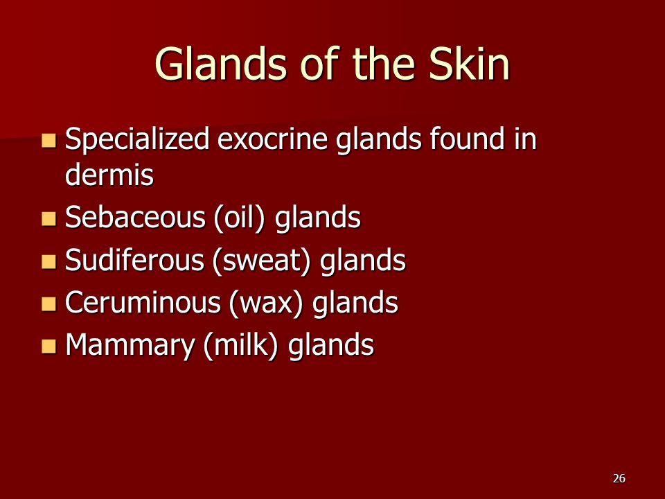 26 Glands of the Skin Specialized exocrine glands found in dermis Specialized exocrine glands found in dermis Sebaceous (oil) glands Sebaceous (oil) g