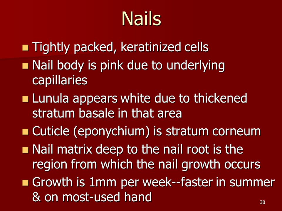 30 Nails Nails Tightly packed, keratinized cells Tightly packed, keratinized cells Nail body is pink due to underlying capillaries Nail body is pink d