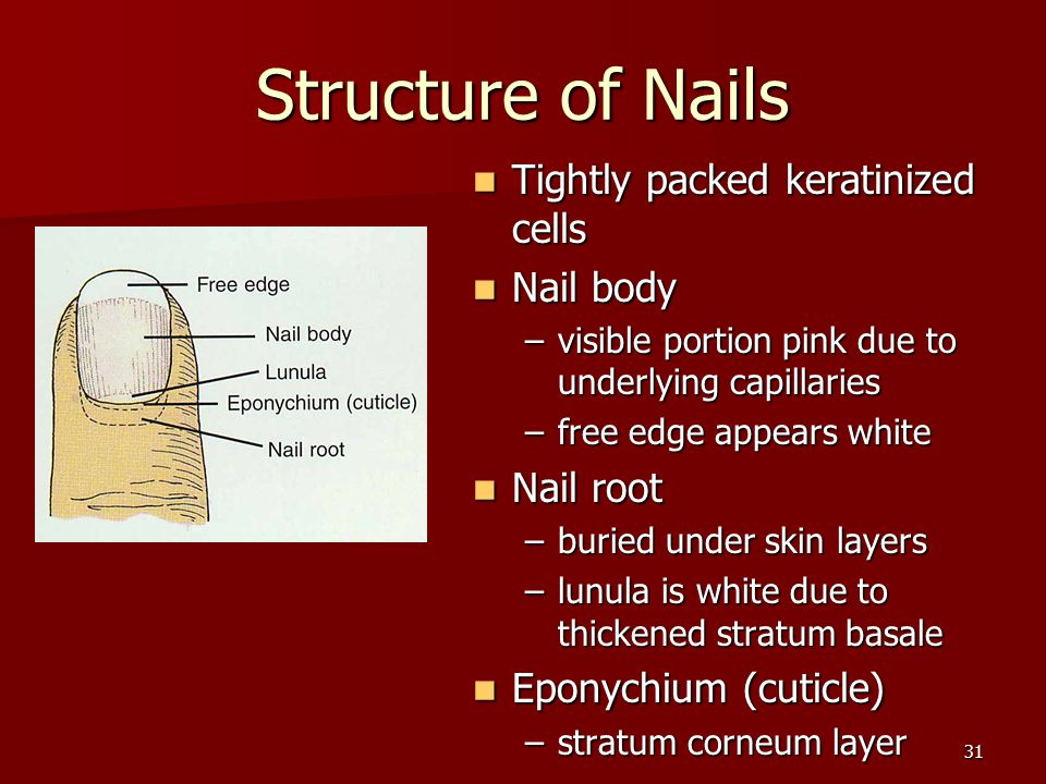 31 Structure of Nails Tightly packed keratinized cells Tightly packed keratinized cells Nail body Nail body –visible portion pink due to underlying ca