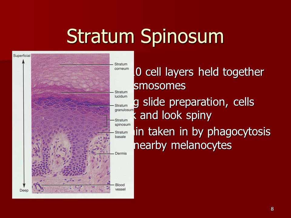 8 Stratum Spinosum 8 to 10 cell layers held together by desmosomes 8 to 10 cell layers held together by desmosomes During slide preparation, cells shr