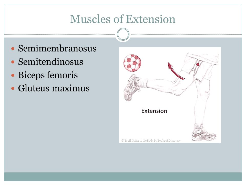 Muscles of Extension Semimembranosus Semitendinosus Biceps femoris Gluteus maximus © Trail Guide to the Body by Books of Discovery