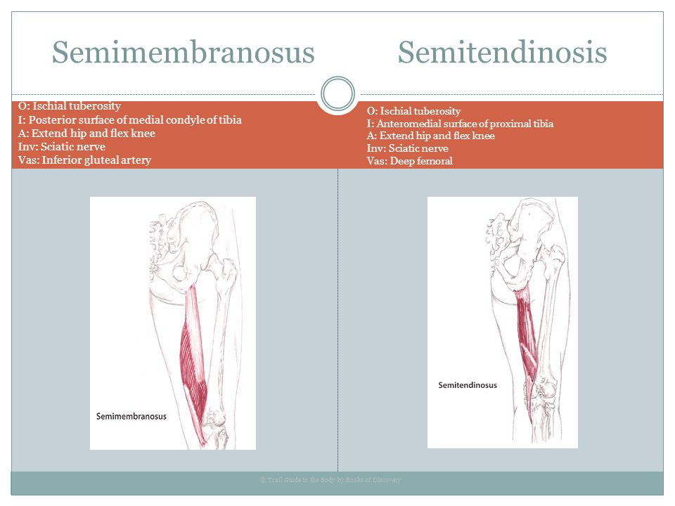Semimembranosus Semitendinosis O: Ischial tuberosity I: Posterior surface of medial condyle of tibia A: Extend hip and flex knee Inv: Sciatic nerve Va