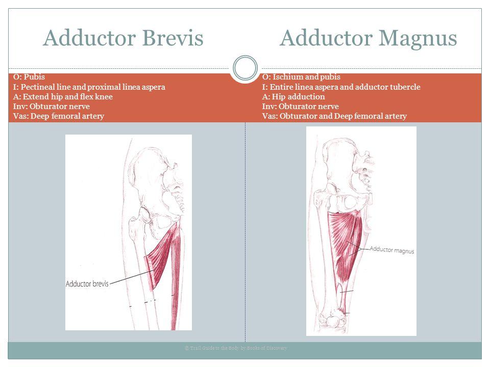 Adductor Brevis Adductor Magnus O: Pubis I: Pectineal line and proximal linea aspera A: Extend hip and flex knee Inv: Obturator nerve Vas: Deep femora