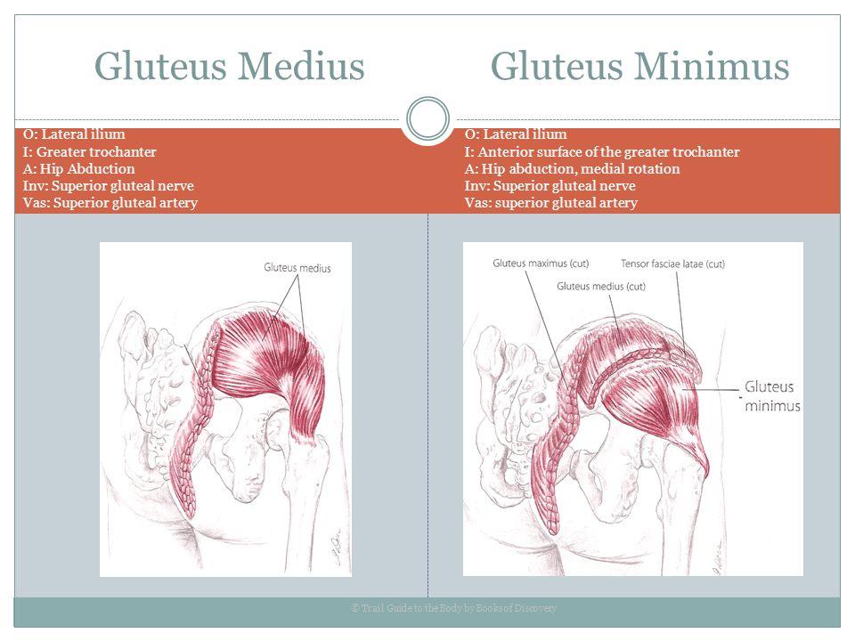 Gluteus Medius Gluteus Minimus O: Lateral ilium I: Greater trochanter A: Hip Abduction Inv: Superior gluteal nerve Vas: Superior gluteal artery © Trai