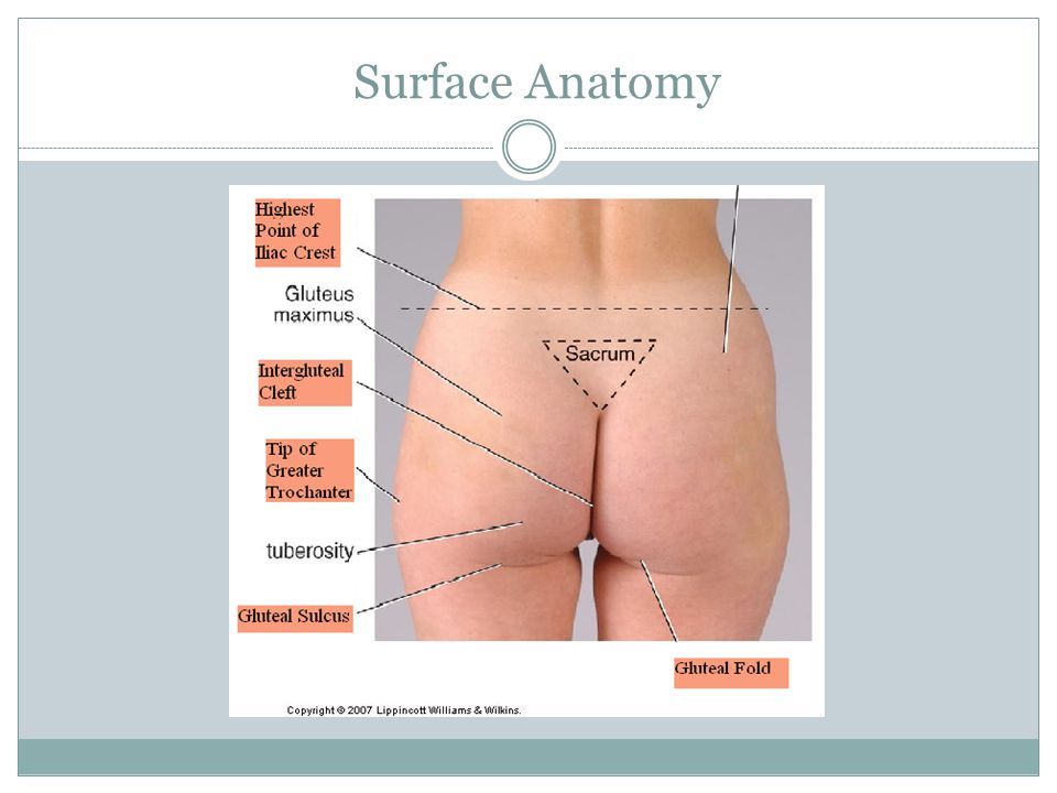 Lateral Rotation Sartorius Gluteus Maximus Piriformis © Trail Guide to the Body by Books of Discovery
