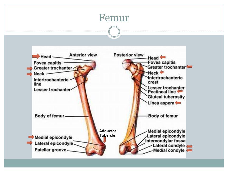 Ligaments Continued 1) Transverse of Acetabulum Ligament: crosses the acetabular notch, fills in gap of inferior border of acetabulum.