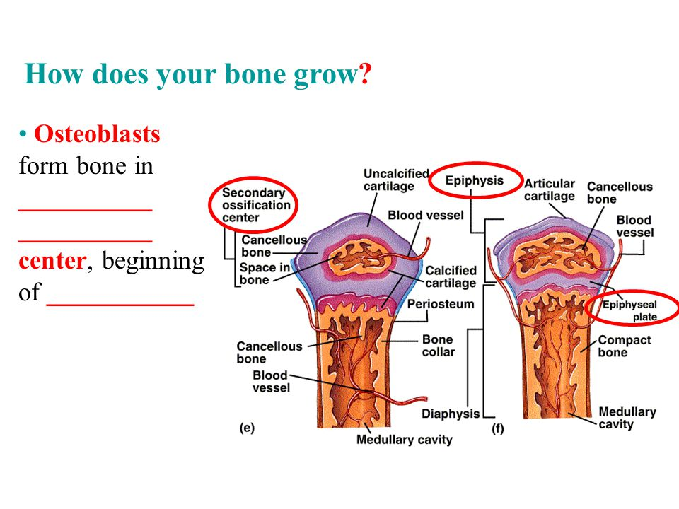 Osteoblasts form bone in __________ __________ center, beginning of ___________ How does your bone grow?