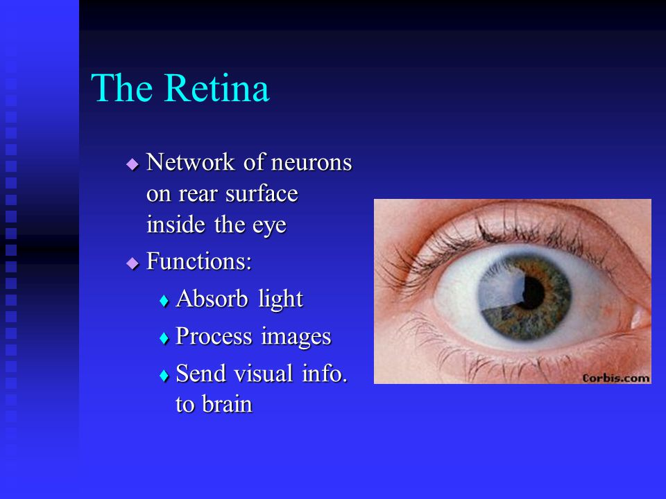 The Retina  Network of neurons on rear surface inside the eye  Functions:  Absorb light  Process images  Send visual info.