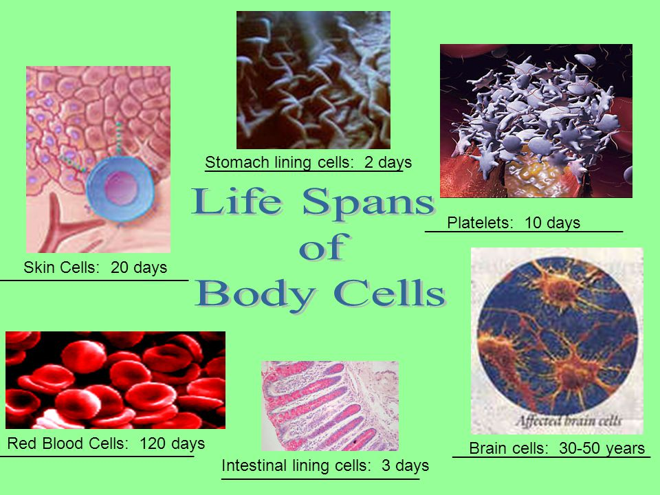 Skin Cells: 20 days Red Blood Cells: 120 days Stomach lining cells: 2 days Brain cells: 30-50 years Platelets: 10 days Intestinal lining cells: 3 days