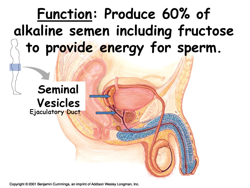 Function: Produce 60% of alkaline semen including fructose to provide energy for sperm. Seminal Vesicles Ejaculatory Duct