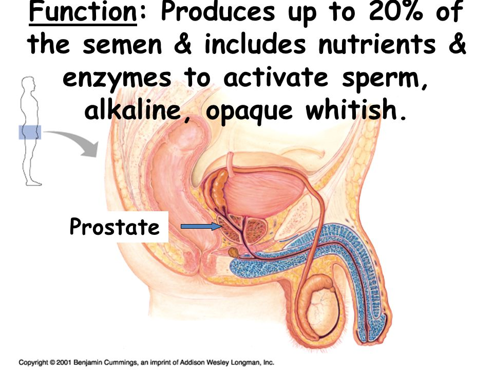 Function: Produces up to 20% of the semen & includes nutrients & enzymes to activate sperm, alkaline, opaque whitish. Prostate