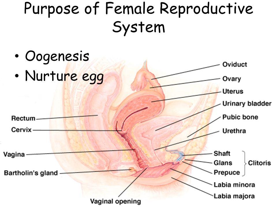 Purpose of Female Reproductive System Oogenesis Nurture egg