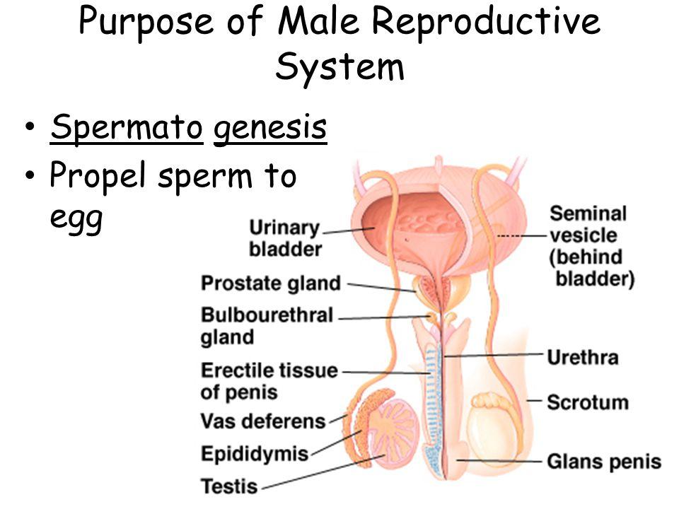 Purpose of Male Reproductive System Spermato genesis Propel sperm to egg