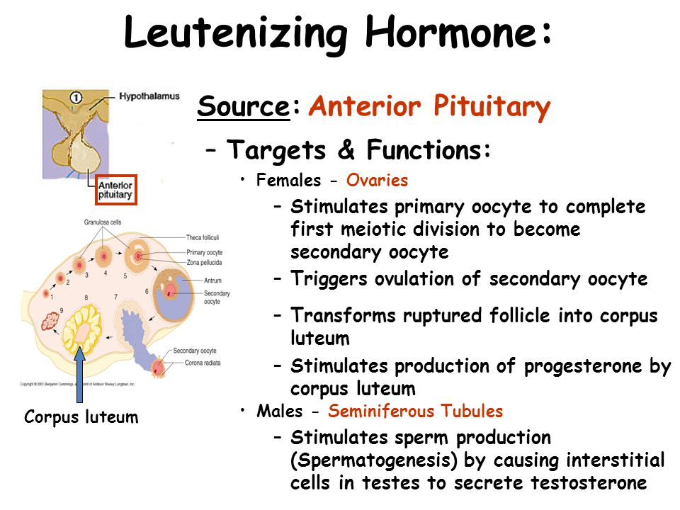 Leutenizing Hormone: Source:Anterior Pituitary –Targets & Functions: Females - Ovaries –Stimulates primary oocyte to complete first meiotic division t