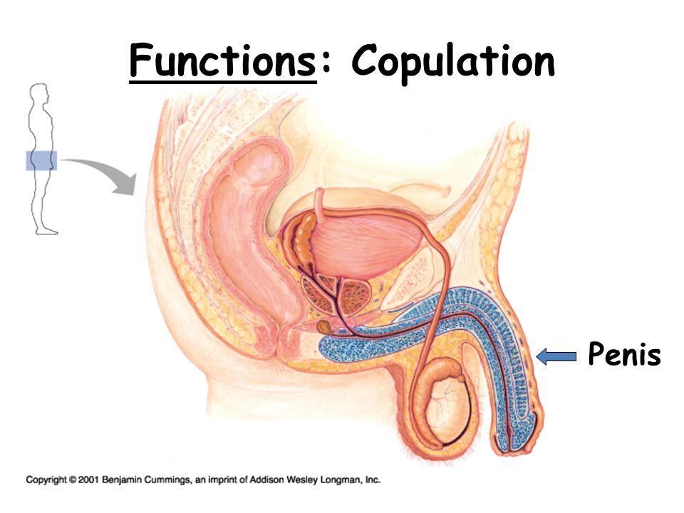 Functions: Copulation Penis