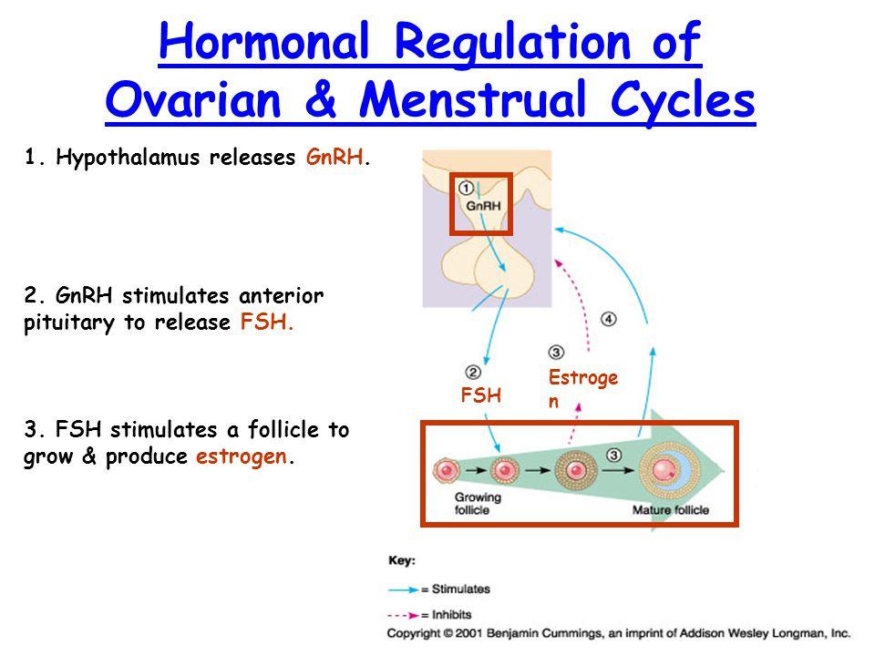 Hormonal Regulation of Ovarian & Menstrual Cycles 1. Hypothalamus releases GnRH. 2. GnRH stimulates anterior pituitary to release FSH. FSH 3. FSH stim