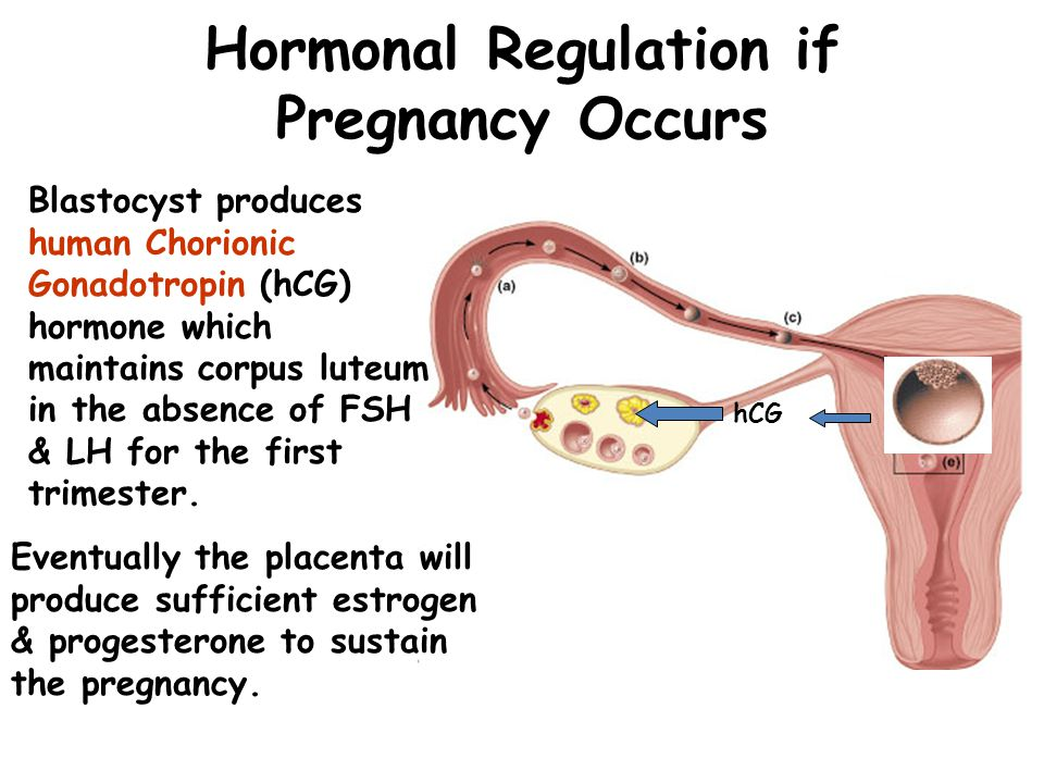 Hormonal Regulation if Pregnancy Occurs Blastocyst produces human Chorionic Gonadotropin (hCG) hormone which maintains corpus luteum in the absence of